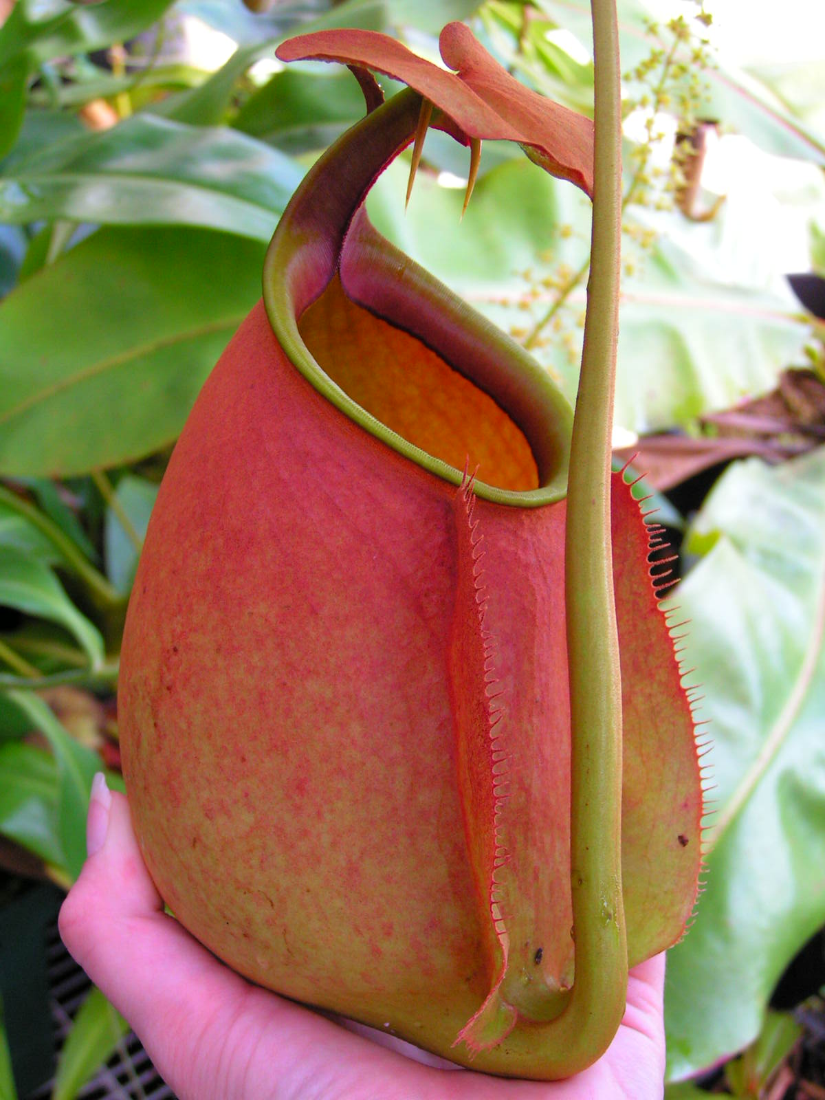 Nepenthes Bicalcarata For Sale
